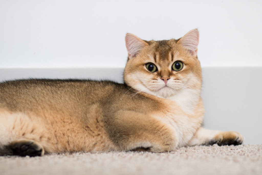 teddy british shorthair cat